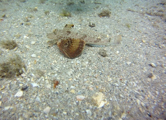 Flying Gurnard (Adam Rees / Scuba Works)