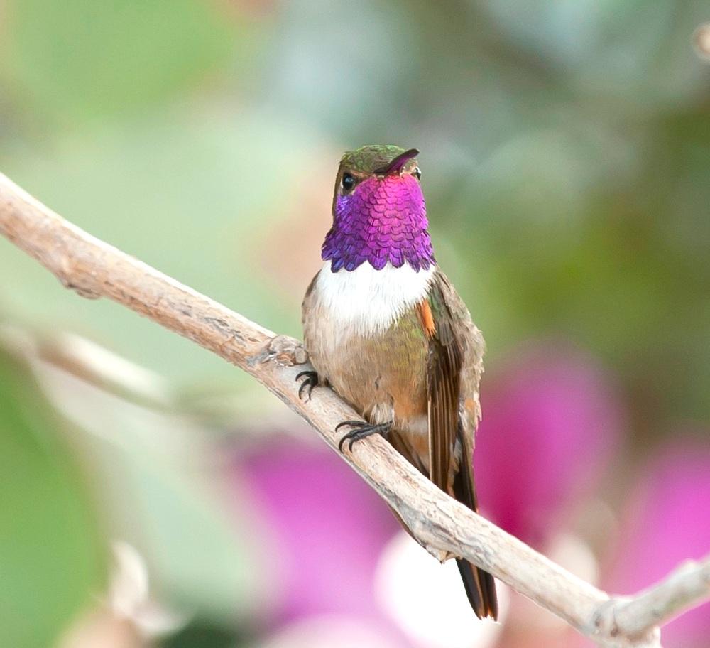 Bahama Woodstar male, Abaco, Bahamas (Tom Sheley)