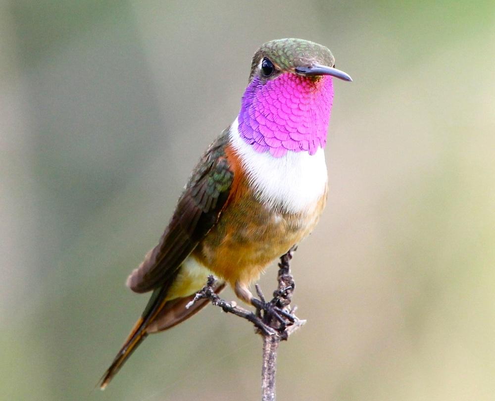 Bahama Woodstar Hummingbird, Abaco (Bruce Hallett)