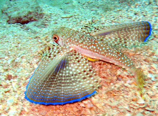 Dactylopterus_volitans Flying Gurnard (cralize wiki)