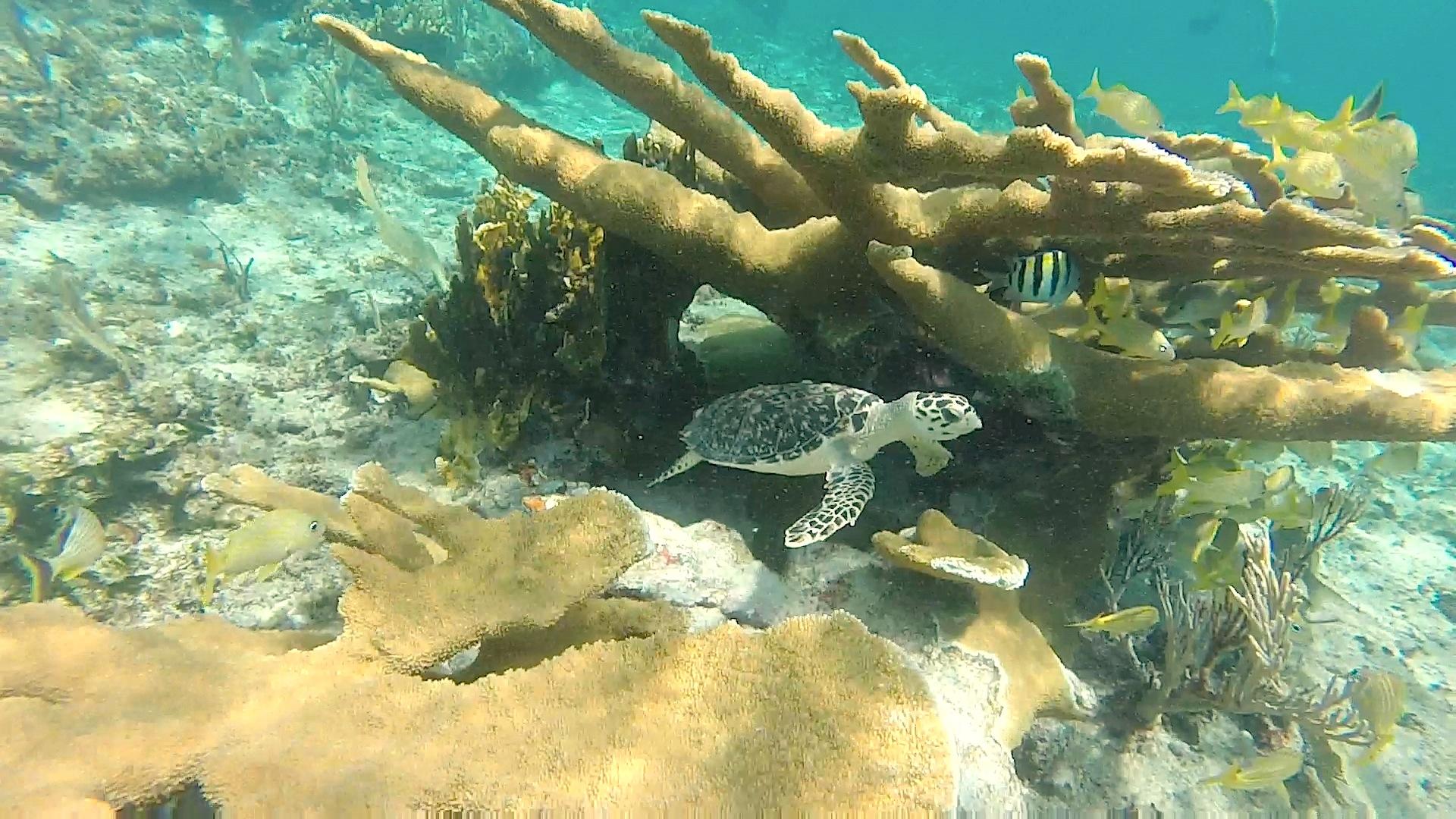 Hawksbill turtle (juv), West End Grand Bahama