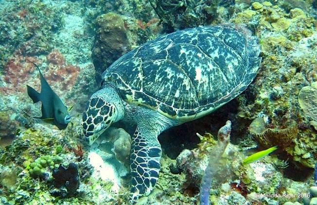 Hawksbill Turtle eats sponge ©Melinda Riger @ GB Scuba copy