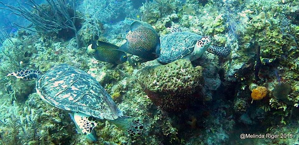 Hawksbill Turtles, French Angelfish eat sponge ©Melinda Riger @ GB Scuba copy