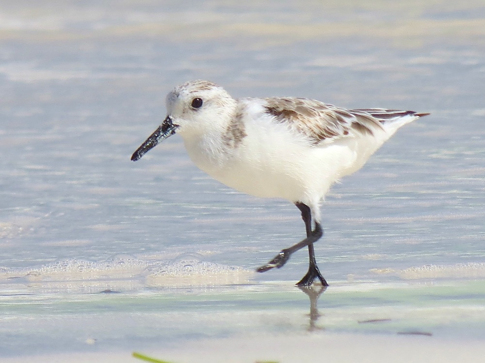 Sanderling, Delphi Beach, Abaco (Keith Salvesen)