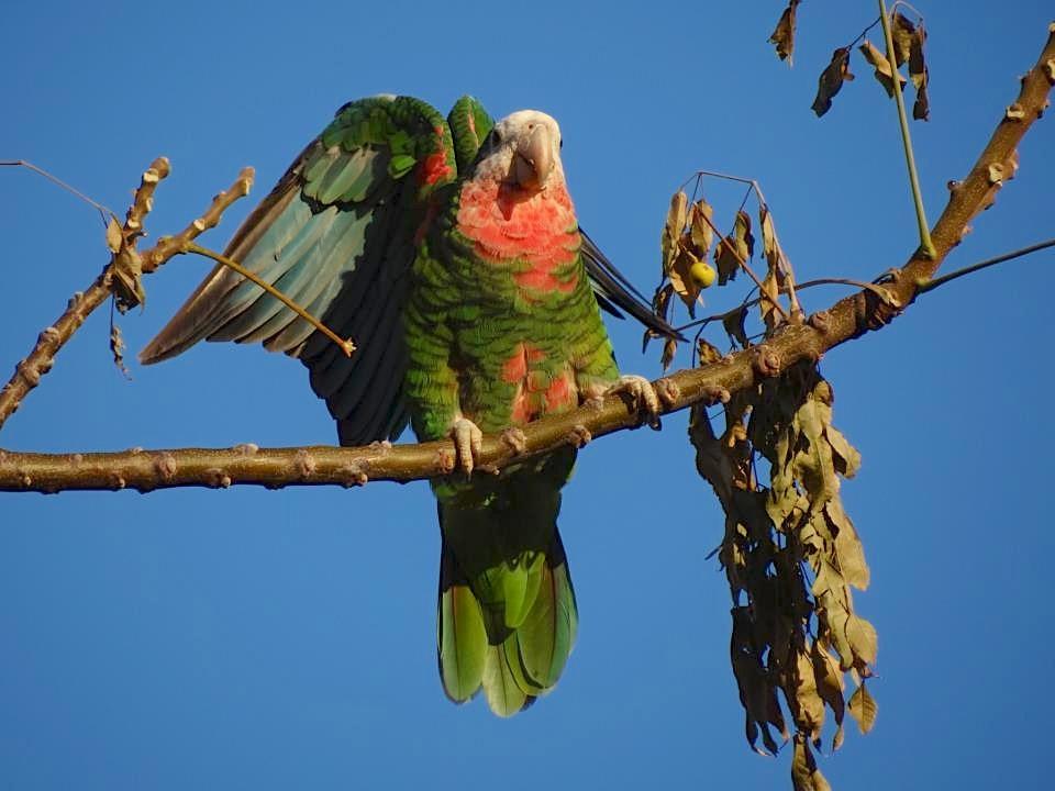 Abaco (Cuban) Parrot (Melissa Maura)