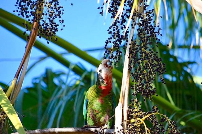 Cuban parrot, Nassau / New Providence (Neill Pritchard)