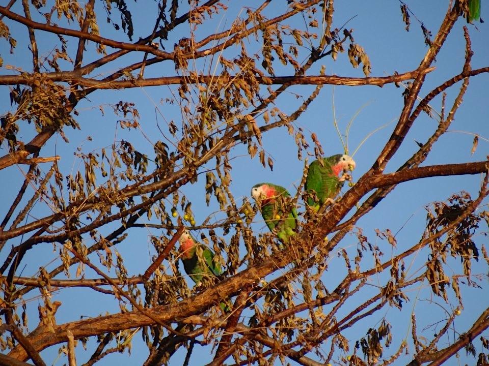 Nassau Parrots (3) Melissa Maura