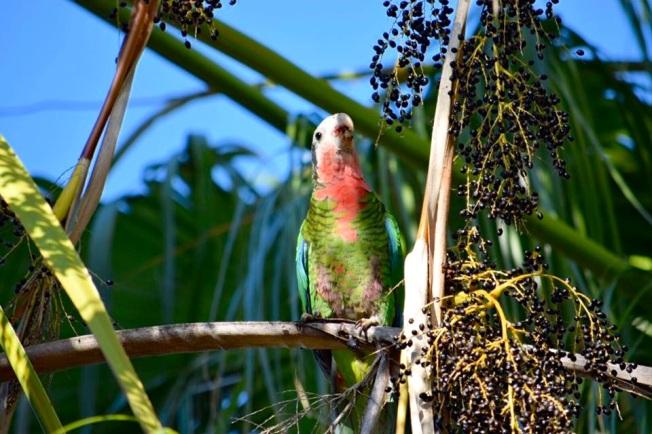 Nassau Parrots 3 (Neill Pritchard)