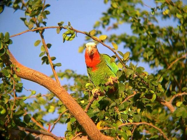 Nassau Parrots - Lynn Gape