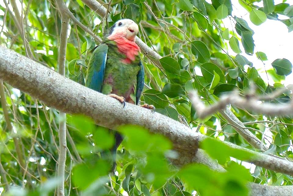 Nassau Parrots (Lynn Gape)
