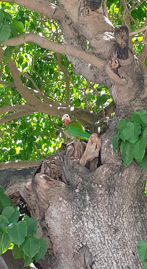 Nassau Parrots : ?Nesting site (Ian Coerbell)