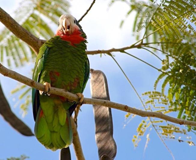 Nassau Parrots (Sandy Cunningham)