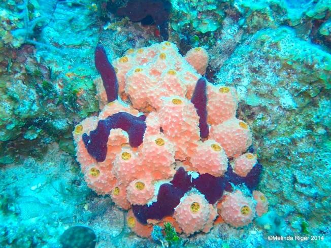Sponges - Branching Tube Sponge with rope sponge ©Melinda Riger @ GB Scuba
