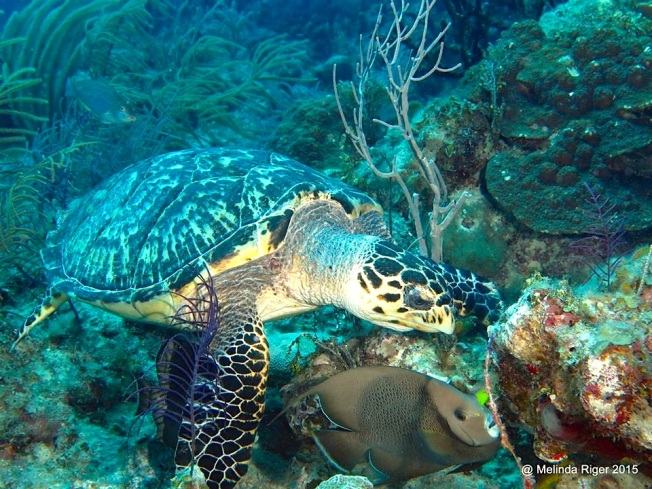 Turtle with Gray Angelfish ©Melinda Riger @ G B Scuba copy