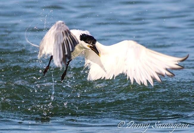 Sandwich Tern (Danny Sauvageau)