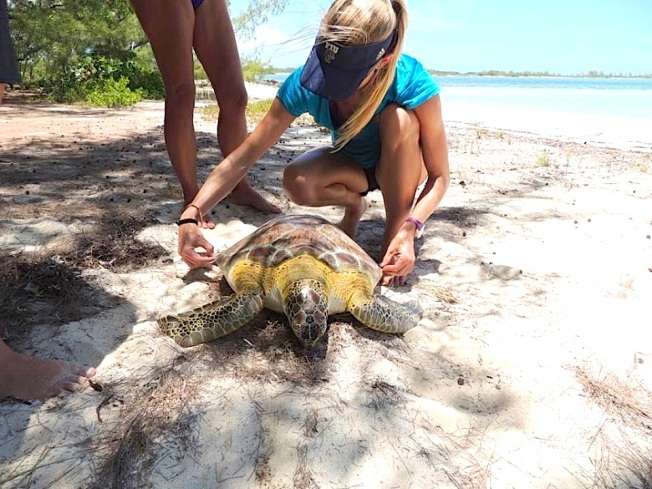 Turtle measuring project, Abaco