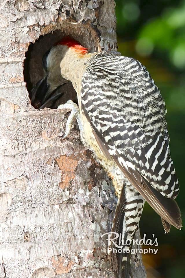 West Indian Woodpeckers & Chicks (Rhonda Pearce)