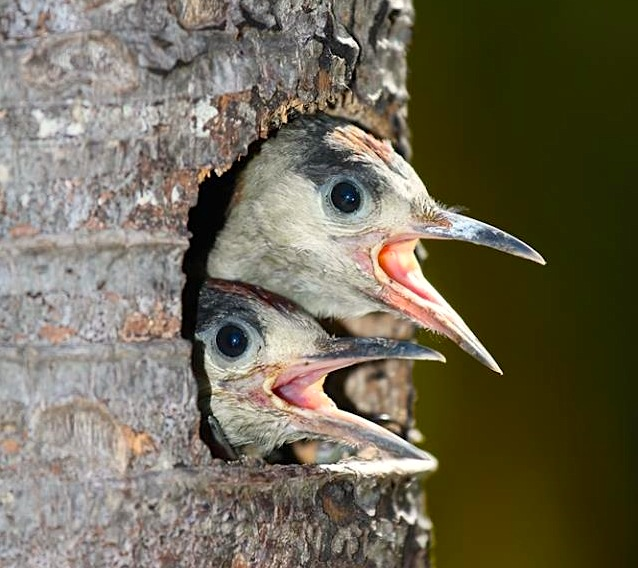 West Indian Woodpecker & Chicks, Abaco (Rhonda Pearce)