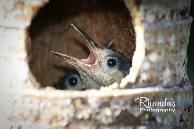West Indian Woodpeckers & Chicks (Rhonda Pearce)