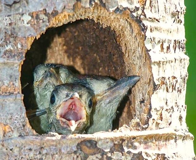 West Indian Woodpecker & Chicks, Abaco (Rhonda Pearce)