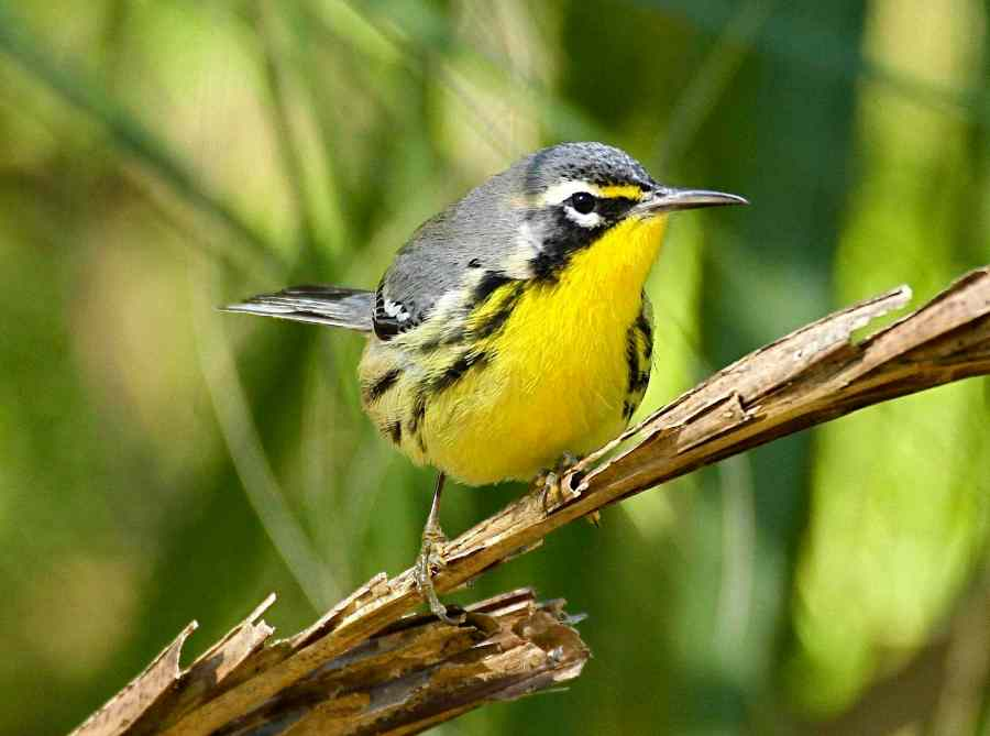 Bahama Warbler, Abaco (Bruce Hallett) z2