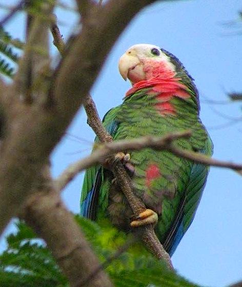 Cuban Amazon Parrot, Nassau (Linda J Clews)