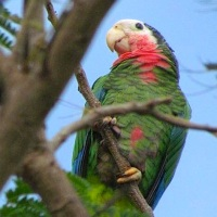 THE MYSTERIOUS 'ABACO PARROTS' OF NASSAU