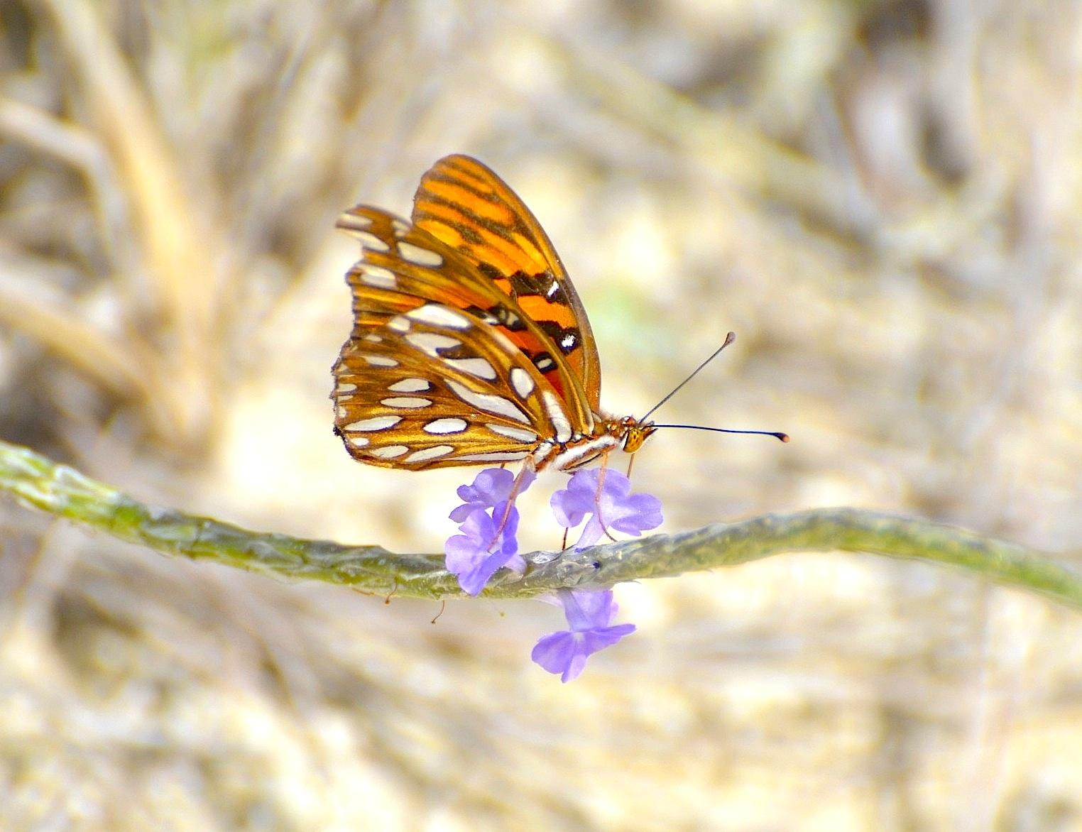 Gulf Fritillary, Abaco (Charles Skinner)