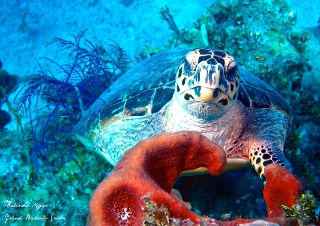 Hawksbill Turtle ©Melinda Riger @ G B Scub 4