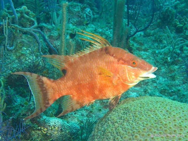 Hogfish at cleaning station ©Melinda Riger @GB Scuba