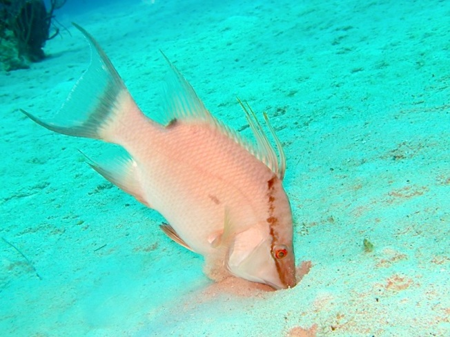 Hogfish ©Melinda Riger @ GB Scuba copy ed