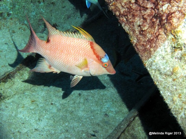 Hogfish (with isopod above eye) ©Melinda Riger @ GB Scuba