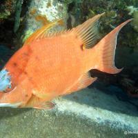 HOGFISH: BAHAMAS REEF FISH (31)
