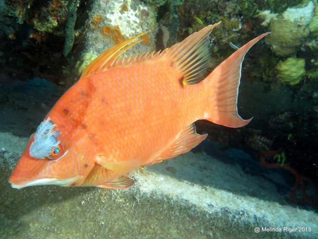 Hogfish with isopods ©Melinda Riger @ GB Scuba