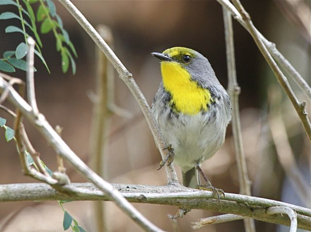 Olive-capped Warbler, Abaco Bahamas (Bruce Hallett)