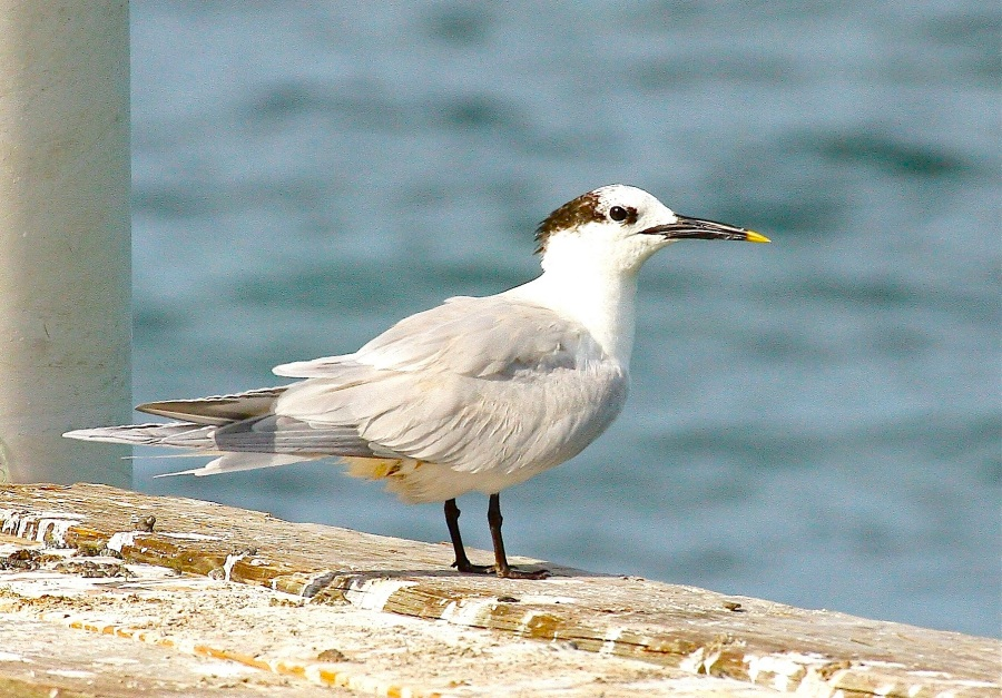 Sandwich Tern (Sandy Point), Abaco - Bruce Hallett