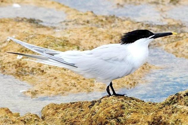 Sandwich Tern, Abaco (Woody Bracey)