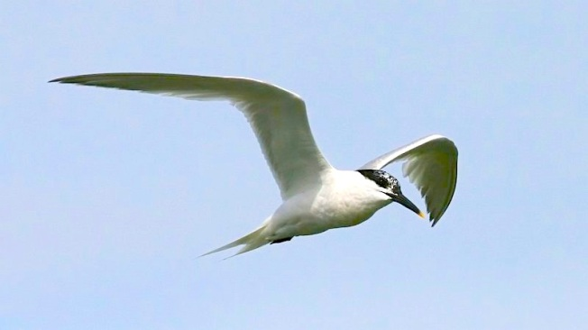 Sandwich_Tern_(Sterna_sandvicensis)_(Ken Billington)