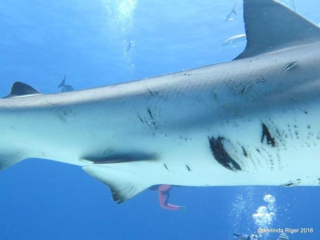 Shark mating wounds ©Melinda Riger @ GB Scuba