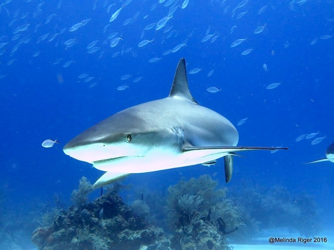 Shark & Tiddler ©Melinda Riger @ GB Scuba