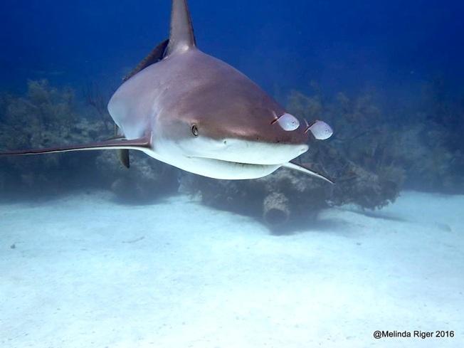 Shark & wee fish ©Melinda Riger @ G B Scuba