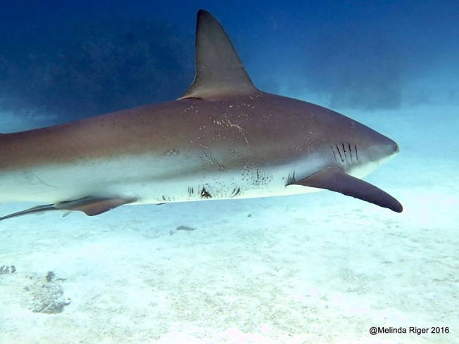 Shark with mating marks ©Melinda Riger @ G B Scuba