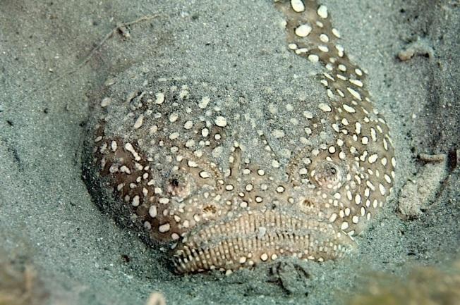 Star Gazer fish (Adam Rees : Scuba Works)