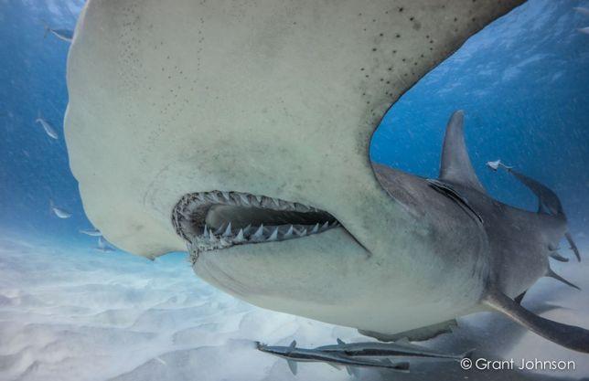 Great Hammerhead Shark, Bimini (Grant Johnson / 60 Pound Bullet)