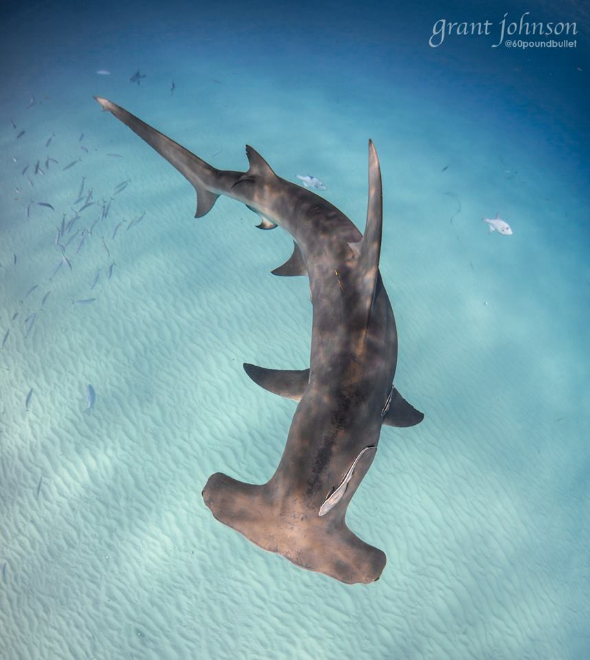 Great Hammerhead Shark, Bimini (Grant Johnson / 60 Pound Bullet)