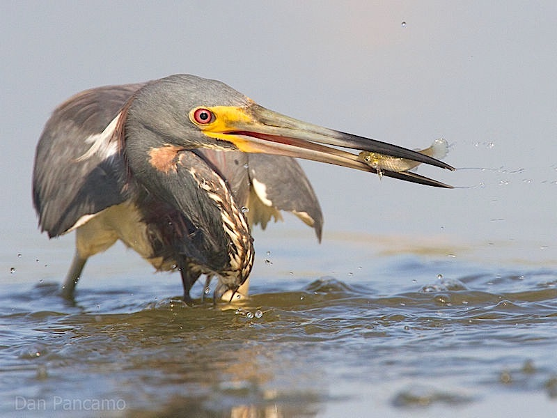 tricolored_heron2_by_dan_pancamo (Wiki)