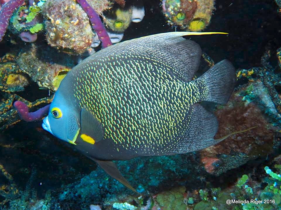 french-angelfish-melinda-riger-g-b-scuba-copy
