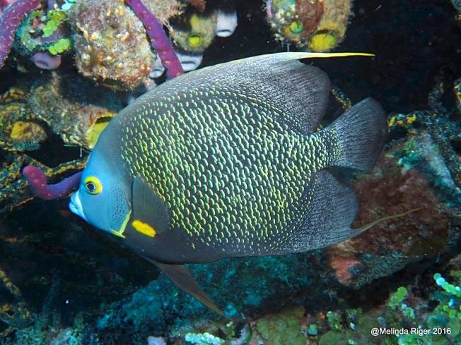 french-angelfish-melinda-riger-g-b-scuba-copy