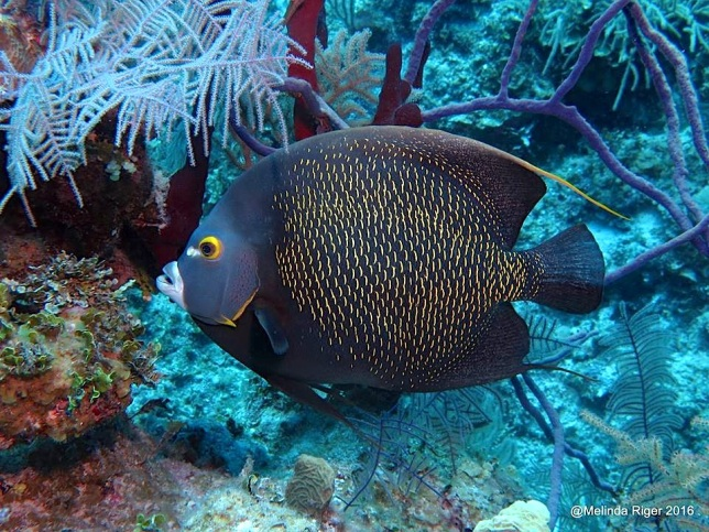 french-angelfish-melinda-riger-g-b-scuba