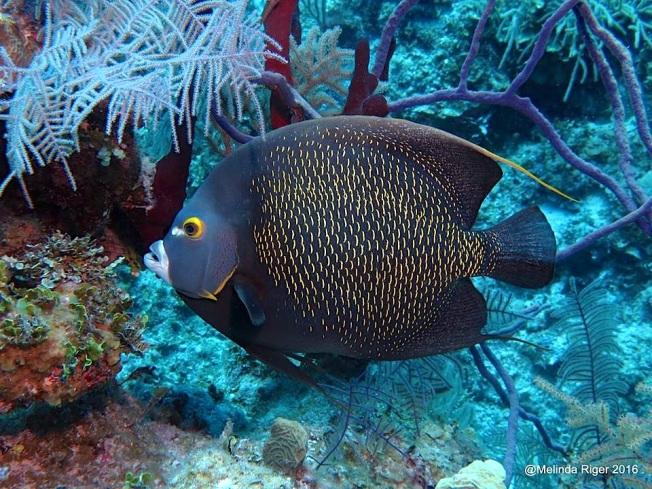 french-angelfish-melinda-riger-g-b-scuba